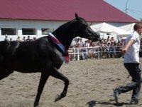День открытых дверей на Терском племенном конном заводе. Международный фестиваль арабских лошадей